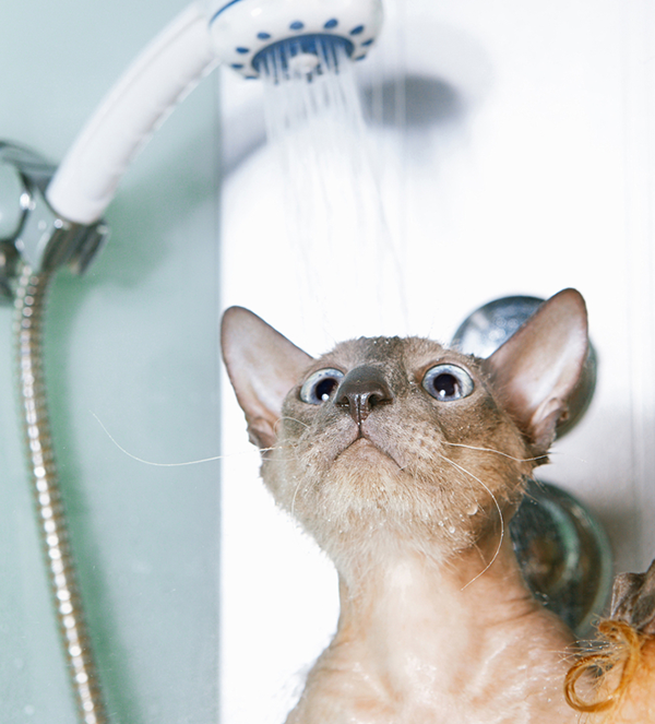 How you can Supply Your Cat With a shower
