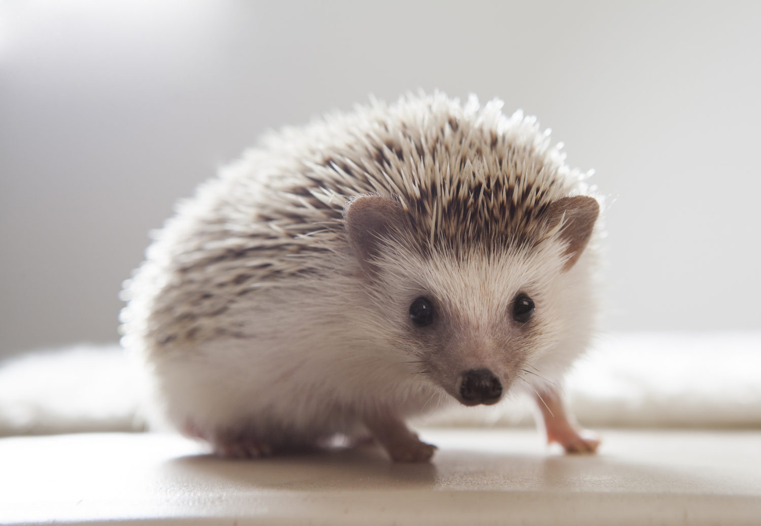 A Brief Guide on Caring for Hedgehogs